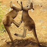 Roos fighting